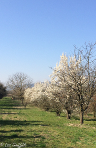 Blossoming cherry trees by Gottenheim